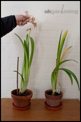 What to do with an amaryllis bulb after it has finished flowering