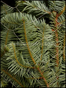 Needles of Nordmann fir