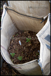 Potatoes starting to emerge from the soil in a potato grow bag