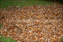Collect the leaves into a pile with a lawn rake or leaf blower