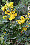 Mahonia aquifolium 'Apollo' (Oregon grape)