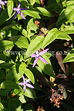 Vinca major subsp hirsuta (Large Periwinkle, Greater Periwinkle)