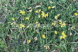 Lotus corniculatus (Bird's-foot-trefoil)