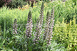 Acanthus spinosus (Bears breeches)