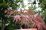 Acer palmatum 'Seiryu' (Maple, Japanese maple)