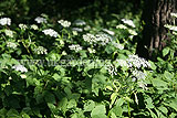 Aegopodium podagraria (Ground Elder)
