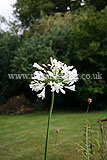 Agapanthus africanus 'Bressingham white'  (African lily)