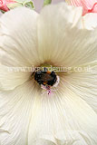 Alcea (Hollyhock) with bumble bee