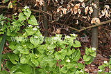 Alliaria petiolata (Garlic Mustard)