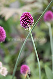 Allium sphaerocephalon (Round-headed Leek, Round-headed Garlic) syn. Allium sphaerocephalum