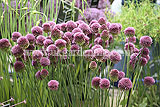 Allium sphaerocephalon (Round-headed leek)