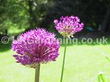 Allium hollandicum 'Purple Sensation' (Ornamental onion)