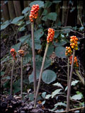 Arum maculatum (cuckoo pint, cuckoo-pint, jack-in-the-pulpit, lords and ladies). The berries are produced in summer, turning orangey-red in late-summer, early autumn.