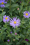 <em>Aster amellus</em> 'King George' [AGM]
