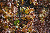 Fagus sylvatica (European beech, Common Beech) hedge