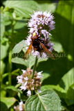 Belted hoverfly Volucella zonaria