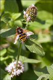 Belted hoverfly <em>Volucella zonaria</em>. One of the largest flies of Britain. It mimics a hornet or wasp, but is harmless to humans. The adults are great polinators and their larvae are believed to eat wasp grubs.