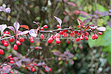 Berberis thunbergii f. atropurpurea 'Harlequin' (Berberis, Purple berberis, Barberry, Purple Japanese barberry)