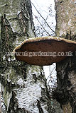Piptoporus betulinus (Birch polypore, bracket or birch fungus )