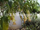 Brugmansia aurea (Angel's trumpet, trumpet flower, horn of plenty, Golden Angel's Trumpet)