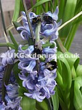 Bumble bee on Hyacinth