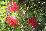 Callistemon citrinus (Bottlebrush)