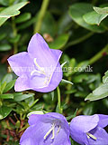 Campanula (Bellflower)