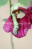 Caterpillar eating hollyhock flower