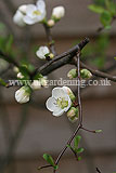 Chaenomeles 'In Variety' (Quince)