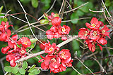 Chaenomeles speciosa (Ornamental quince, japonica, Japanese quince)