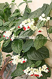 Clerodendrum thomsoniae (Bleeding-heart vine)