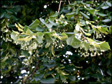 Tilia x europaea (Common lime)