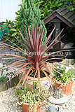 Cordyline australis 'Purpurea' (Cabbage palm)