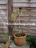 Corylus avellana 'Contorta' (Corkscrew hazel, Harry Lauder's walking stick)