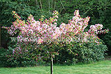 Malus floribunda (Japanese flowering crab apple)