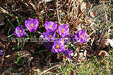 <em>Crocus vernus</em> Crocus, Dutch crocus, giant crocus