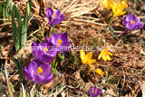<em>Crocus vernus</em> Crocus, Dutch crocus, giant crocus (purple flower on the left) and <em>Crocus chrysanthus</em> snow crocus, golden crocus (yellow flower on the right).