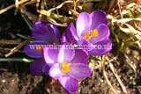 Crocus vernus Crocus, Dutch crocus, giant crocus