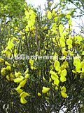 Cytisus scoparius (Broom)