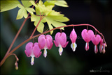 <em>Dicentra spectabilis</em> (Bleeding heart, Dutchman's trousers)