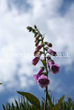 Digitalis purpurea (Foxglove)