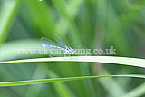 Enallagma cyathigerum  (Common blue damselfly)