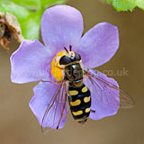 Eupeodes corollae syn. Metasyrphus corollae (Hoverfly). Whilst it may look like a wasp, it is actually a hoverfly.