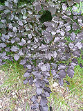 Fagus sylvatica purperea (Purple beech)