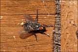 Flesh fly Sarcophaga nodosa