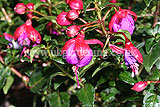 <em>Fuchsia</em> 'Dollar Princess'