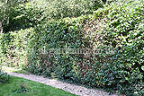 Fagus sylvatica (European beech, Common Beech) hedge cutting