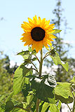 Helianthus annuus (Sunflower)