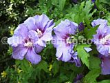 Hibiscus syriacus 'Blue Bird', syn. H.s. 'Oiseau Blue' (Tree Hollyhock)
