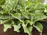 Hosta 'Krossa Regal' [AGM] (Plantain lily, Funkia)